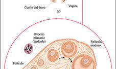 Cuál es la función del aparato reproductor femenino