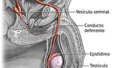 Cuál es la función del aparato reproductor masculino