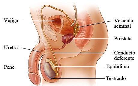 Partes del aparato reproductor masculino