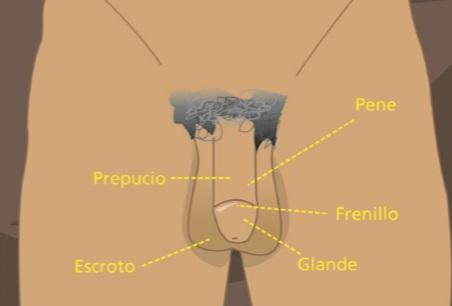 Aparato reproductor externo masculino